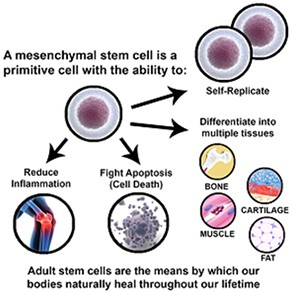 What is a Stem Cells